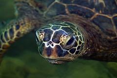 Closeup Portrait Of A Green Sea Turtle (AlaskaFreezeFrame) Tags: ocean sea vacation portrait green nature water closeup swimming canon outdoors hawaii outdoor turtle wildlife lagoon seaturtle kona cheloniamydas 70200mm greenseaturtle green pacific alaskafreezeframe