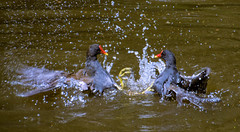 Kung Fu Ducks (marionrosengarten) Tags: lake berlin nature water zoo duck fight wasser kungfu splash enten vgel spritz kampf matingbehaviour