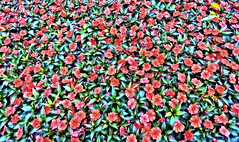 Yellow Flower (ri Sa) Tags: flowers red flower yellow finland helsinki flowerbed