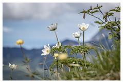 Alpenanemone (memories-in-motion) Tags: mountain flower nature clouds canon germany landscape bayern deutschland photography eos flora blossom air natur pflanzen wolken blumen alpen blüte landschaft 70200 alpin spitzingsee pulsatillaalpina rotwand bergpanorama alpenküchenschelle ef70200mmf28lisiiusm canoneos7dmarkii