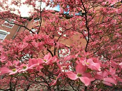 Dogwood Tree ((Jessica)) Tags: flowers boston spring downtown blossom massachusetts newengland bloom dogwood common springtime pw