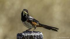 Spotted Towhee (Bob Gunderson) Tags: california birds northerncalifornia marincounty northbay spottedtowhee pipilomaculatus towhees lomaaltafireroad
