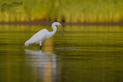 Great Egret with Crab Leg 6_21 (krisinct- Thanks for 12 Million views!) Tags: nikon 300 f4 afs d500