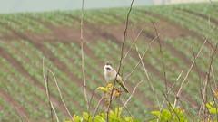 Whitethroat (Sylvia communis) (ToxicWeb) Tags: uk bird birds lumix scotland video angus birdsong panasonic gb arbroath whitethroat birdcall sylviacommunis panasoniclumix tz40