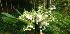 Lily of the Valley (Amberinsea Photography) Tags: flower forest spring sweden wildflowers lovely scent lilyofthevalley forestwalk liljekonvalj amberinseaphotography