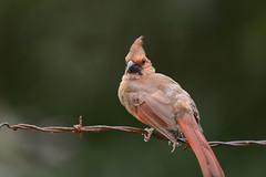 Young Mr Cardinal-42008.jpg (Mully410 * Images) Tags: barbedwire birdwatching birding cardinal backyard northerncardinal bird birds wire juvenile