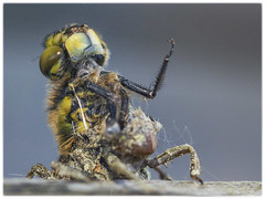 Drei Szenen des Schlupfvorgangs einer Vierfleck Libelle (Sonnenblume) Tags: libelle insekt metamorphose libellulaquadrimaculata vierfleck schlupfvorgang