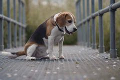 Alfie on the bridge (James Andrew West) Tags: dog beagle zeiss sony 85mm f18 batis a6300