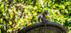 Squirrel (randyherring) Tags: california ca closeup fruit chair backyard squirrel afternoon outdoor wildlife sanjose depthoffield hedge