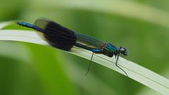 Banded Demoiselle......... (klythawk) Tags: nottingham blue brown black male green reed nature spring olympus damselfly omd em1 bandeddemoiselle 40150mm calopteryxsplendens 14xtc colwickpark klythawk