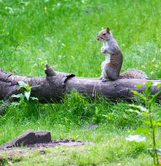 Squirrel (davep90) Tags: flash lancashire leigh pennington wigan