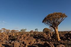 Quivertree Forest (robsall) Tags: africa camp vacation canon lodge canon5d namibia canoneos karas 1635 2015 canonllens canon1635mm quivertreeforest canon1635 1635f28 1636mm quivertreeforestcamp canon1635mmf28liiusm canon5dmarkiii 5dmarkiii 5dm3 quivertreeforestrestcamp 5dmark3 5dmiii canon5dm3 canoneos5dm3 robsallphotography quivertreeforestlodge