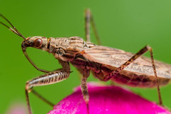 Profile view of spined assassin bug with red eyes on pink flower with green background (Steven Ellingson) Tags: pink brown detail macro green nature animals closeup bug insect outdoors close wildlife insects bugs micro predator microscopic pest spinedassassinbug