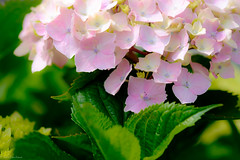 紫陽花 Hydrangea (Colorful-wind) Tags: light shadow plant flower color colors japan colorful soft purple may fujifilm hydrangea fukuoka lightandshadow ajisai 2016 紫陽花 xt1