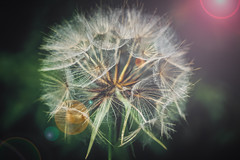 giant dandelion seed head (sara.wendelmelhuish) Tags: summer macro floral dandelion seeds seedhead flare eltham parachutes se9