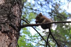 IMG_2587 photoshopped (breesharanowski) Tags: nature squirrel naturephotography babysquirrel