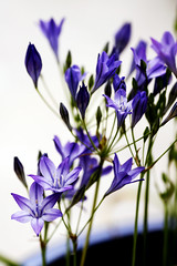 FleursMaison_20160611_029 (bourjean29) Tags: france bretagne printemps finistre 135mmf2l bourgeoisjean