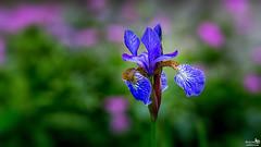 Blauwe Lis (Iris germanica) (BraCom (Bram)) Tags: pink blue iris flower holland closeup canon petals rotterdam blauw dof widescreen flag nederland depthoffield nl 169 roze bloem zuidholland bloemblaadjes southholland canonef70200mm irisgermanica deutscheschwertlilie blauwelis bracom canoneos5dmkiii bramvanbroekhoven