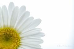Marguerite (Sous l'Oeil de Sylvie) Tags: marguerite daisy fleur flower grosplan sousloeildesylvie macro macrophotographie tamron90mm pentax ks2 printemps spring passerelles stgeorges beauce qubec 2016 juin june jaune blanc white yellow