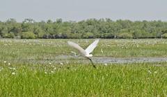 (mblaeck) Tags: wetlands eastaligatorriver nt kakadu yellowrivercruises wildlife australianwildlife bird egret flyingegret egretinflight landscape australianlandscape
