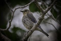 Mountain Bluebird female, Grand Teton National Park (HDRob) Tags: mountainbluebird bluebird female grandtetonnationalpark grandtetons bird wildlife