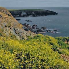 Ireland Copper Coast wildflowers (stevelamb007) Tags: ocean ireland square oldphoto coastline wildflowers headland coppercoast stevelamb flickriver