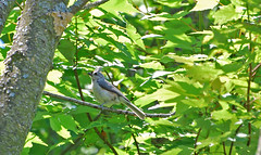 Tufted Titmouse (mbyler13) Tags: nature birds outdoors flickr wildlife titmouse tufted