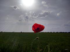 """""""En los campos de Flandes""""  vs  Brexit (LOSADAT) Tags: de los poppy campos n flandes brexit"""