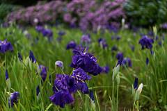 -294 (Mio:D) Tags: iris flower   ise