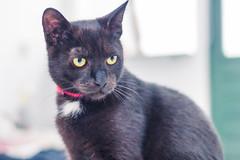 IMG_4068 (BalthasarLeopold) Tags: pet cats pets animal animals cat blackcat mammal kitten feline dof kittens felines blackcats indoorcat dephtoffield