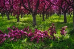 Deep into the hot pink (beyondhue) Tags: crab apple tree alley lincoln fields ottawa beyondhue ontario spring hot pink bloom blossom green grass deep color