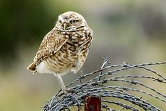 Burrowing Owl balance (Ripley's fish planet) Tags: burrowingowl harneycountyoregon easternoregon frenchglenhighway thenarrows