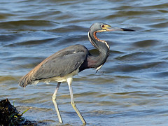 Strolling along the Shore (WRFred) Tags: bird heron wildlife maryland assateague worcestercounty