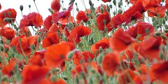 Halcylon Days (baxter.ad) Tags: life uk red england plants colour field rural sussex poppies wildflower