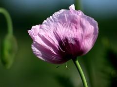 Mohn (chrisheidenreich) Tags: summer flower purple sommer lila poppy blume violett mohn