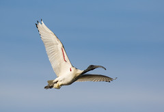 Not the cutest but a beauty in flight (christinaportphotography) Tags: blue wild sky white bird birds wings focus dof flight free australia ibis nsw centralcoast woywoy australianwhiteibis threskiornismoluccus