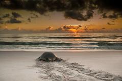 Sunrise Turtle (dubrick321) Tags: beach animals sunrise outdoors reptile fl melbournebeach cheloniamydas reptiles greenseaturtle floridasunrise archiecarrnationalwildliferefuge seaturtlenesting seaturtleonbeach