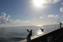 Gathering (alannahberkeley) Tags: pompanopier pier ocean sun birds