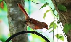 cardinal (DavidMethvinPierce) Tags: cardinal