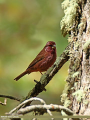Red-Mantled Rosefinch (Carpodacus rhodochlamys) (gilgit2) Tags: pakistan birds fauna canon geotagged wings wildlife feathers tags location species tamron category avifauna gilgit naltar gilgitbaltistan imranshah canoneos7dmarkii carpodacusrhodochlamys tamronsp150600mmf563divcusd redmantledrosefinchcarpodacusrhodochlamys gilgit2
