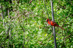 Northern Cardinal (tcmealy) Tags: city red nikon midwest cardinal mason iowa northern 70300mm tamron d5100