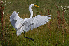 great egret 6-26-2016-80 (Scott Alan McClurg) Tags: life blue wild summer portrait sky sun white bird nature water animal fly flying back pond backyard glow wildlife flight bluesky neighborhood landing ardea eat wetlands land algae gliding flapping eatting flap stalk stalking greategret naturephotography glide ardeidae aalba