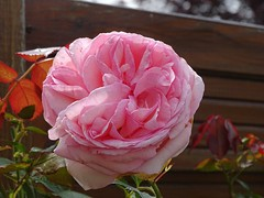 20160614a Rose Pierre de Ronsard (@bodil) Tags: pink france rose normandie calvados pierrederonsard
