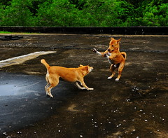 ,, Mother & Son ,, (Jon in Thailand) Tags: trees roof dog playing green dogs goofy mom jumping nikon funny rocky ears mama jungle paws nikkor k9 d300 motherson 175528 littledoglaughedstories