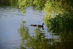 DSC_0007 (rachelle571) Tags: lake water reflections dam ducks ducklings mallard holmes