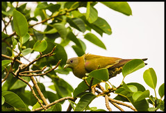 Yellow Footed Green Pigeon (bodhijobs) Tags: yellowfooted green pigeon ef100400mm eos ndmc delhi birds 7d lodi garden july summer
