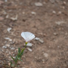 Day 182/366 (Olga Sotiriadou) Tags: white flower nature square weed single day182 366project 3662016 3662016edition 30jun16