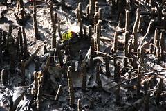 SOP-040716-004 (alison.klein) Tags: wetlands mangroves sydneyolympicpark