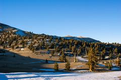 White Mountains (fate atc) Tags: california sunset snow tree dry whitemountains bishop highaltitude bristleconepine ancienttree sunsetlightonbristleconepine