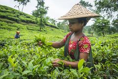 Srimangal-6181 (BohemianTraveler) Tags: asia tea bangladesh srimangal srimongol sreemangal